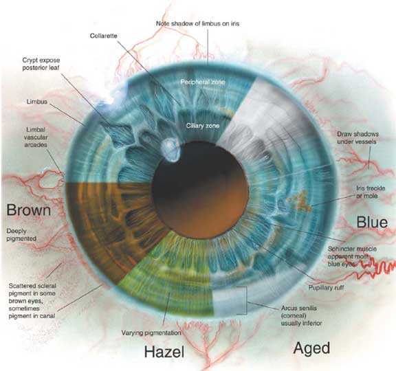 Awesome Human Eye Anatomy Pdf Illustration Anatomy And Physiology